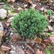 Ель Picea abies Blue Planet фото