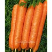 Морковь Явар фото