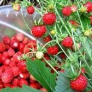 Продам ягоды оптом свежие и замороженные: брусника, ежевика, вишня, черника, клюква, рябина, смородина. Грибы: белые, лисички, подосиновики, польский фото