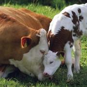 Заменитель Цельного Молока Телятко.UA от 15 дня для телят фото