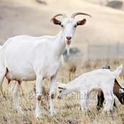 Разработка и техническое сопровождение проектов по разведению мелкого рогатого скота фото