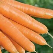 Семена моркови столовой фото