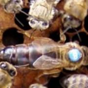 Пчеломатка плодная :Бакфаст В158 - SOL фото