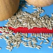 Семена тыквы фото