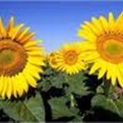 Семена подсолнечника Гибрид ОКТАВА и гибрид ДУЭТ фото