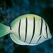 Рыба Хирург-зебра Acanthurus triostegus фото
