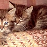 Полу-сибирские котята фото