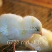 Цыплята оптом фото