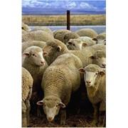 Разведение овец фото