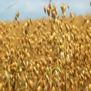 Выращивание зерновых культур - овес фото