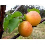 Саженцы плодовых деревьев фото