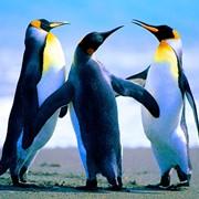 Пингвины из питомников фото