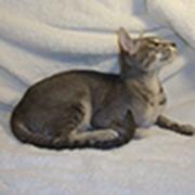 Кошки короткошерстные фото