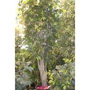 Искусственное дерево Фикус большой фото
