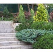 Декоративные деревья и кустарники фото