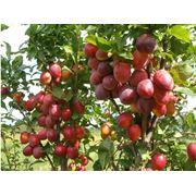 Плодовые деревья (яблони груши сливы черешни персики) фото