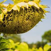 Семена подсолнуха гибрид Mas 97.A /Насіння соняшника гібрид Mas 97.A фото