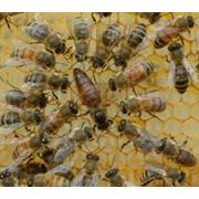 Пчеломатки плодные (карника) фото