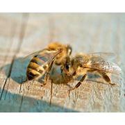Пчелопакеты 2013: карника 1 поколения фото
