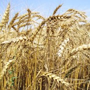 Пшеница 3кл фото