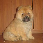 Чау-чау щенки кремового и рыжего окрасов фото