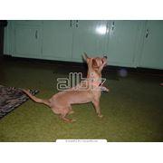 Собаки чихуахуэньо фото