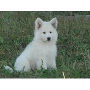 Белая швейцарская овчарка фото
