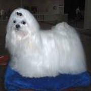 Собаки Бишоны и родственные породы фото