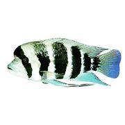 Рыбки тропические Цифотиляпия Фронтоза фотография