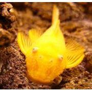 Рыбка анциструс обыкновенный фото