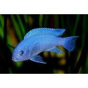 Рыбка акары фото