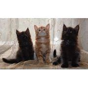 Котята мейн кун из питомника фото