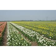 продажа луковиц тюльпанов голландских сортов от производителя и первого импортера фото