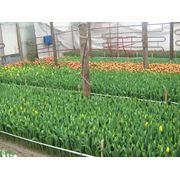 Тюльпаны (оптом) к 8 марта фото