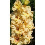 Луковицы гладиолусов фото