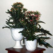 Растение комнатное Kalanchoe African фото