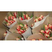 Тюльпаны оптовая продажа фото