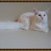 Подрощенная кошечка Мейн-кун фото