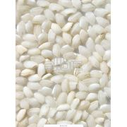 Рис круглозерный фото