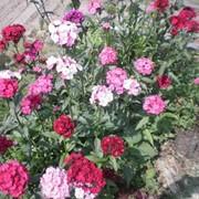 Семена цветов гвоздики Пиноккио махровая 0,2 г. смесь фото