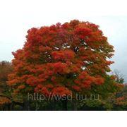 Саженцы дуба красного 3-5 лет фото