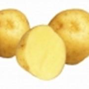 Картофель Monika (Моника) фото