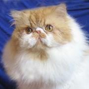 Персидский кот Винсенто Дон Жуан окрас красный мрамор с белым фото