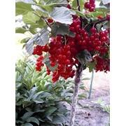 Штамбовая смородина красная Лосан ЗКС фото