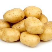 Картофель универсальный фото