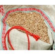 Пшеница яровая сорт «Koksa» («Кокса») фото