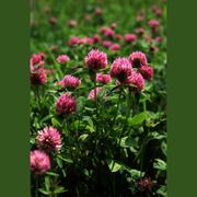 Семена клевера красного лугового фото