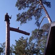 Спил аварийных деревьев.Киев. фото