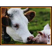 Корм Аппетитный для крупного рогатого скота фото