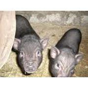 Поросята вьетнамских вислобрюхих свиней фото
